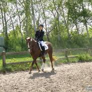 Hollandsk Sportspony Brenda