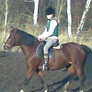 Welsh Pony (sec B) Velved