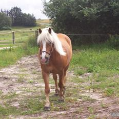 Tyroler Haflinger partner