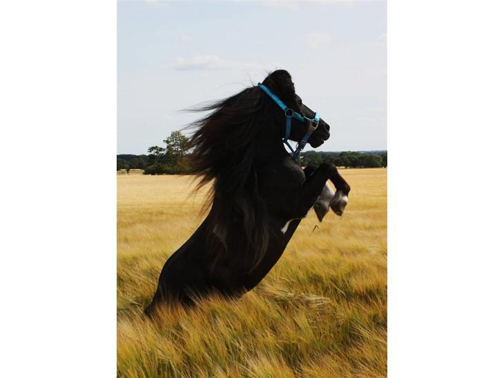 Shetlænder | Charmeur * Rynke * - 1 // Min drømme hest <3 Charme, selvtillid og lækkert hår