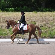 New Forest Adeleide -B-pony SOLGT