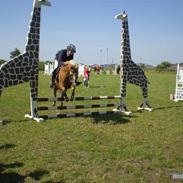 Belgisk Sportspony lasse -