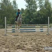 Hollandsk Sportspony | Silver Blue