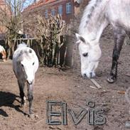 "Welsh Mountain (sec A) Elvis Pony ""SOLGT""  :´("