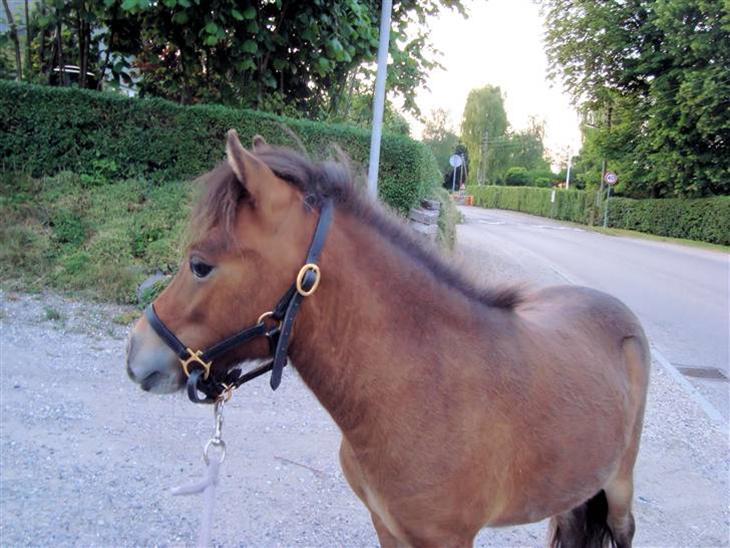 Miniature Toftegaardens Emilie - Emilie d. 27/6-09 1 år og 2 måneder. Hun bliver smukkere og smukkere:D
