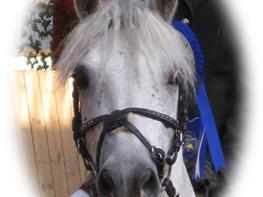 Welsh Pony (sec B) Lindveds Hesper