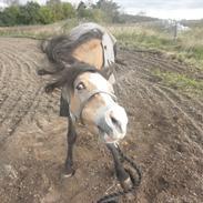 Welsh Pony (sec B) Blanka Graadahl.