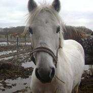 Welsh Pony (sec B) vivaldi