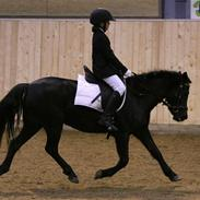Hollandsk Sportspony    Black Beauty * R.I.P.*