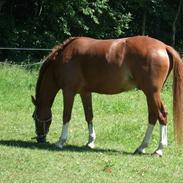 Hollandsk Sportspony Fireball B-Pony