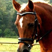 Welsh Pony (sec B) Laban *RIP*