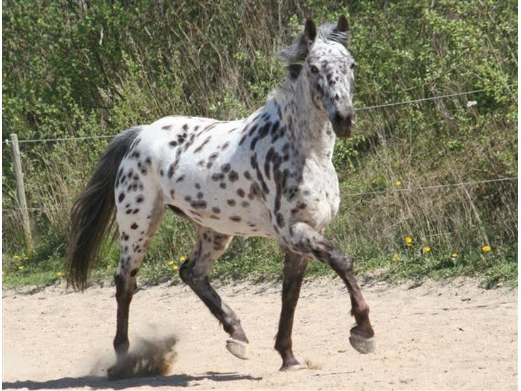 Knabstrupper Frederikke Stelmach - Evt. En lille lækker pony!? April 09 ((Foto: ANLI))