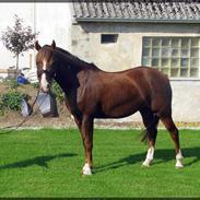 Hollandsk Sportspony Diamant B-pony