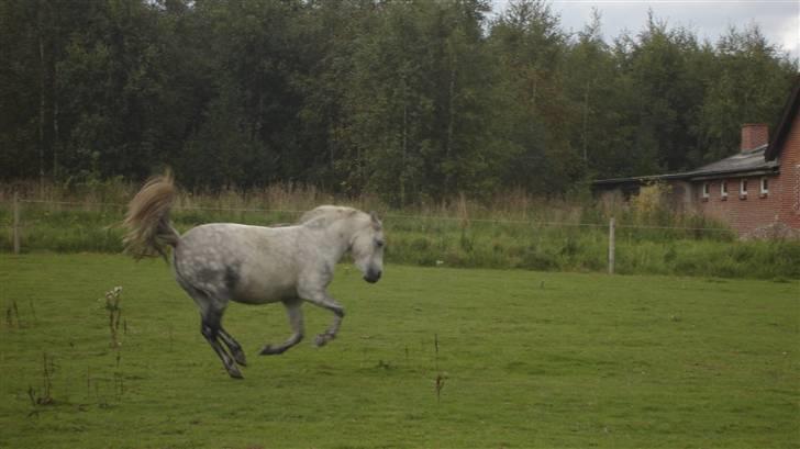 Anden særlig race |  Beauty - min lille vild pony laver lidt buk spring smukt ikke foto søs/lone billede 14