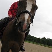Welsh Pony (sec B) l Clausholm Vini Vidi Vici