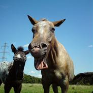 Knabstrupper Roxy Music-Tidligere hest