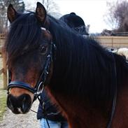 Welsh Pony (sec B) Gribsvads Tango | solgt |