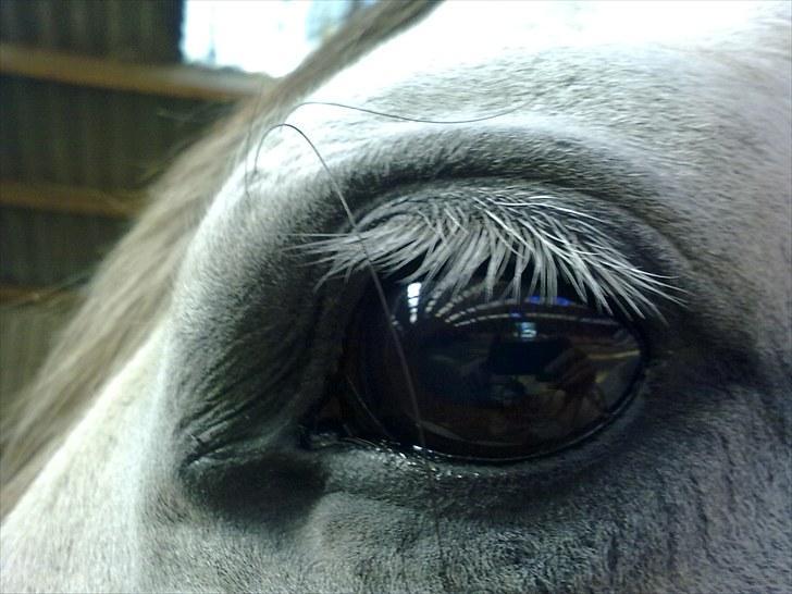 Pura Raza Española  Tara † - Dit smukke øje på din 11- års fødselsdag <3 billede 3