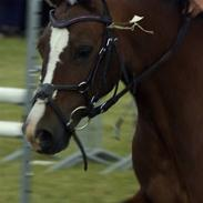 Welsh Pony (sec B) Velvet *SAVNET*