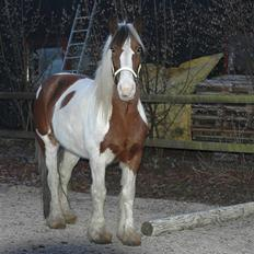 Irish Cob Lady Lasarfhiona