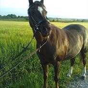 Welsh Pony (sec B) Starla af Ferslev