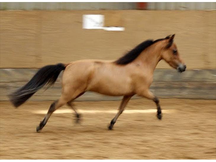 miniature hest