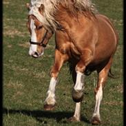 Welsh Cob (sec D) Golden Grafferson