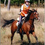 Sportsaraber (A) Morwenna 87% ox