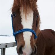 Welsh Pony (sec B) Maccoy, (Udlånt). Ejer: Annika Rosenqvist