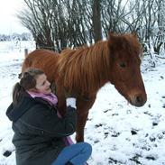 Kaspisk hest Kesari Spring