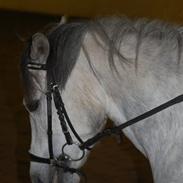 Welsh Pony (sec B) Bugsy Malone (savnet.)