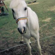 Welsh Pony af Cob-type (sec C) (¯`v´¯)prins (¯`v´¯)