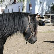 Fell pony Henriett