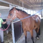 Trakehner Pauker (ikke min hest)