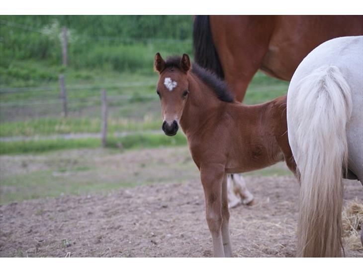 Welsh Pony af Cob-type (sec C) Ågård's Mokaï *SOLGT* - eeeeeeelmer på fold :)