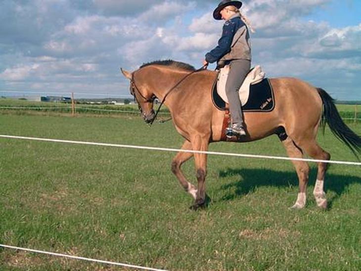 Akhal-Tekiner Golden Boy - Hesten med den specielle farve, Guld hesten bliver han kaldt.