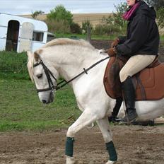 Welsh Pony (sec B) Prinzess of Beauty queen ( Pony)