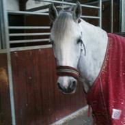 Welsh Pony af Cob-type (sec C) Joanna<3 Du var en ener!:')