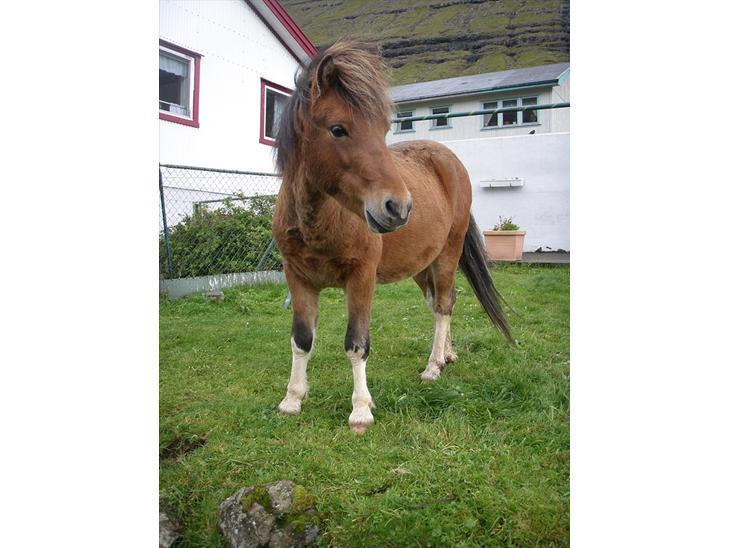 Færøsk hest Gráfaksi [Haft i pleje] - Velkommen (: | 20-09-2010