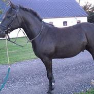 DSP Lerbjerggaards Blackie
