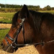 Welsh Pony (sec B) Cirkeline R.I.P
