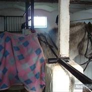 Knabstrupper Candy<3 Aka. Pony! tidl. hest
