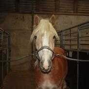 Haflinger Willie