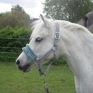 Welsh Pony (sec B) Rosengårdens Pollyanna