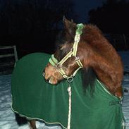 Welsh Pony af Cob-type (sec C) Volmer