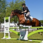 Welsh Pony af Cob-type (sec C) | MENAI LADY CAMILLA *tortillen*