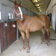 Fuldblod (XX) avalon ( tidligere hest )