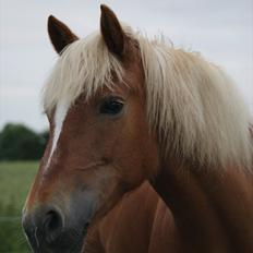 Haflinger Katarina *Guld ponyen*