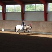 Welsh Pony (sec B) min dejlige pony kikki