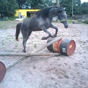 Welsh Pony (sec B) Bjerregård Adina